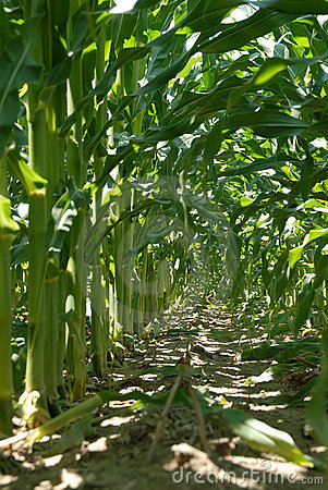 Inside the Corn Stalk Rows