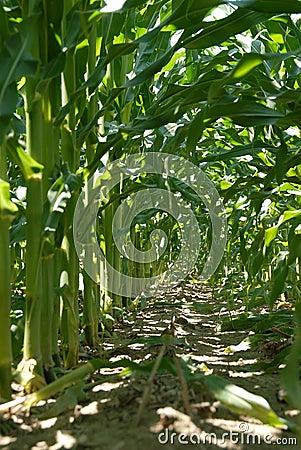Inside the Corn Stalk Rows