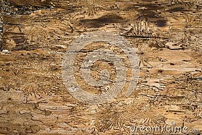 Inside of an oak bark