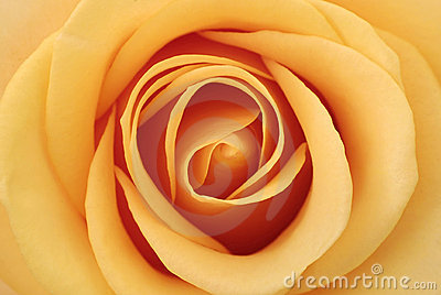 Inside of the rose