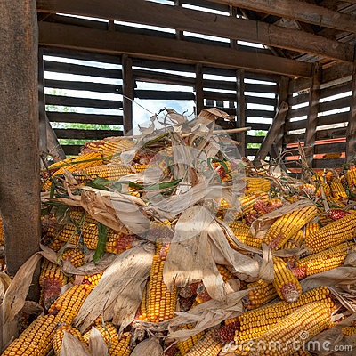 Free Inside The Corn Crib Royalty Free Stock Image - 34501926