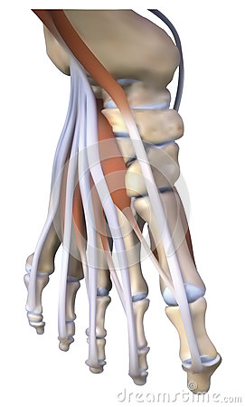 The instep bone and tendons
