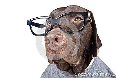 Intelligent Looking Chocolate Labrador