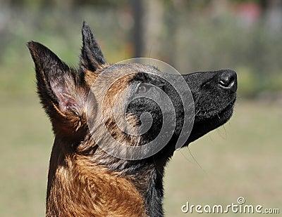 Intelligent Malinois puppy