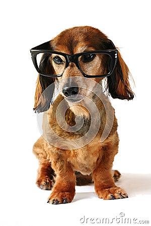 Intelligenter Hund.