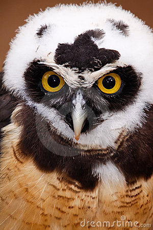 Intense Stare of a Spectacled Owl