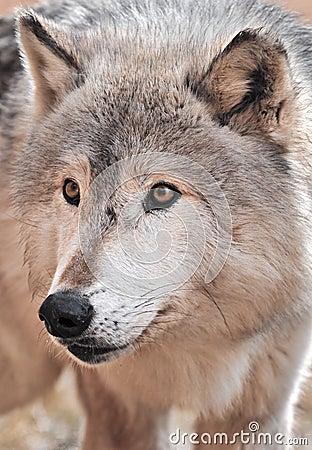 Intense Timber Wolf