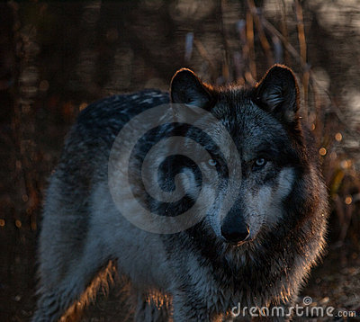 Intense Wolf in the Shadows