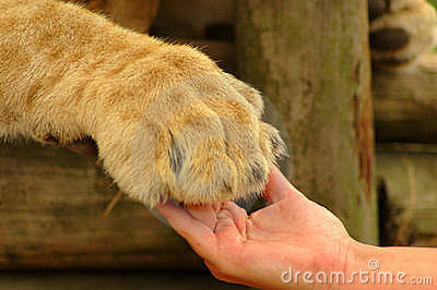 Interaction - hand and lion paw