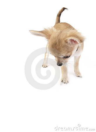 Interested chihuahua puppy looking down isolated