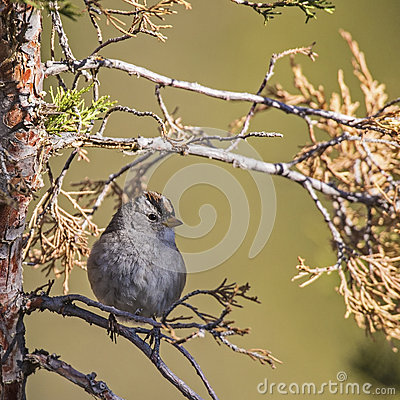 Interior West White-crowned Sparrow Zonotrichia