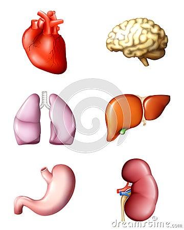 Free Internal Human Organs Stock Photography - 20446362
