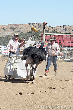 International Camel Races in Virginia City, NV, US Editorial Stock Photo