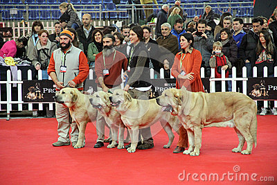 International dog show Editorial Stock Image