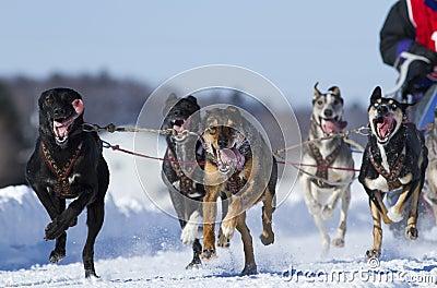 International Lanaudiere Dog sledding race