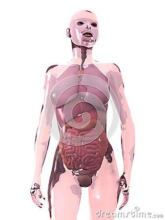 Interne Menselijke Organen, Vrouw Stock Foto - Afbeelding: 18102650: https://nl.dreamstime.com/stock-foto-interne-menselijke-organen...