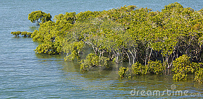 Intertidal mangroves