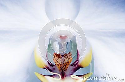 Intimate Phalaenopsis Orchid