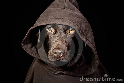 Intimidating Chocolate Labrador in Hooded Top