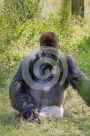 Intimidating Western Lowland Gorilla