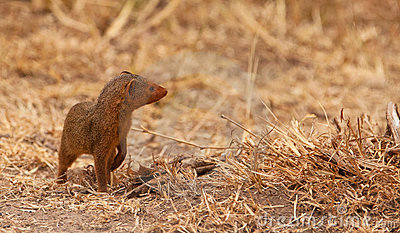 A intrepid Dwarf Mongoose