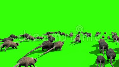 Invasion of Rats Mice Sniff Mouse Back Green Screen 3D Rendering Animation. Chroma key 3d animation stock illustration