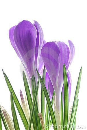 Free Iolet Spring Crocus Royalty Free Stock Images - 7187479