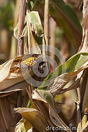 Free Iowa Cornfields Stock Photo - 26657920