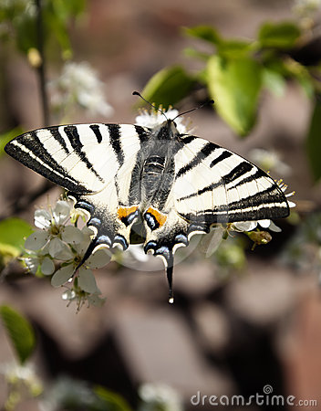 Free Iphiclides Podalirius Stock Photos - 24508563