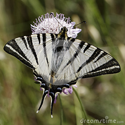 Free Iphiclides Podalirius, Scarce Swallowtail, Sail Swallowtail, Pear-tree Swallowtail Royalty Free Stock Photo - 29738135