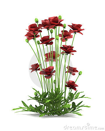 Iranian poppy flowers isolated on white