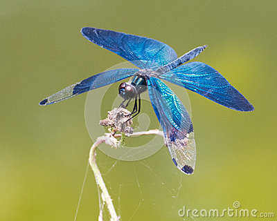 Iridescent blue dragonfly