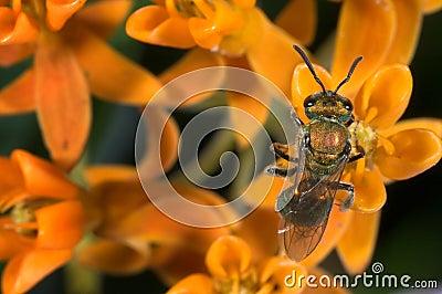 Iridescent sweat bee
