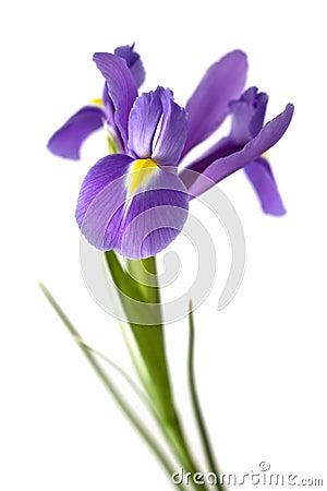 Free Iris Stock Photography - 5192612