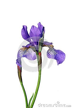Free Iris Royalty Free Stock Photo - 5256555