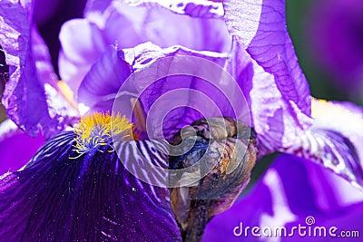 Iris In Bloom Stock Photo