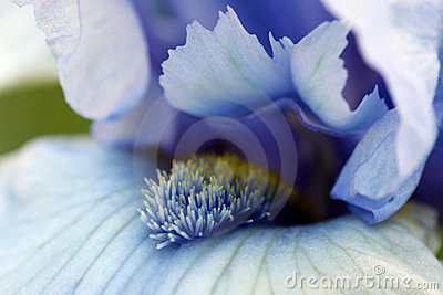 Iris Flower Picture on Iris Flower Macro Stock Photo   Image  14513090