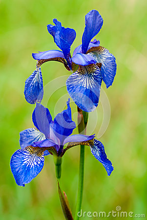 Iris flower outdoors