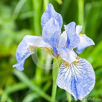 Iris flower after rain