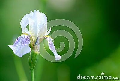 Iris flower. Shallow DOF.