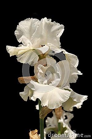 Free Iris Flowers Stock Image - 11751601