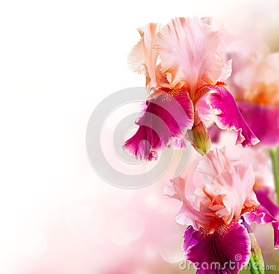 Free Iris Flowers Art Design Royalty Free Stock Image - 32101516
