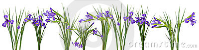 Iris flowers border. Isolated on white