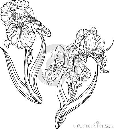 Iris Flowers Coloring Page Stock