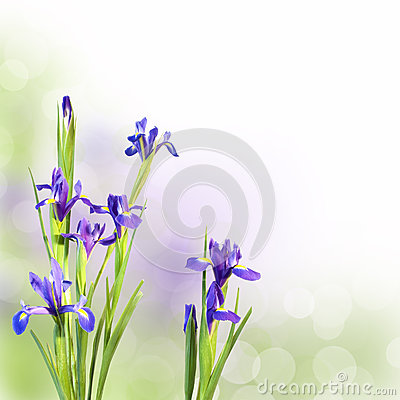Free Iris Flowers On Green Background Stock Photography - 53432542