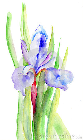 Iris flowers, watercolor illustration