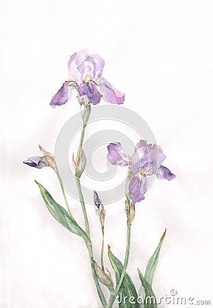 Iris flowers watercolor painting