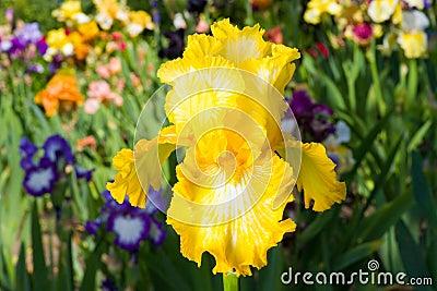 Iris on garden background