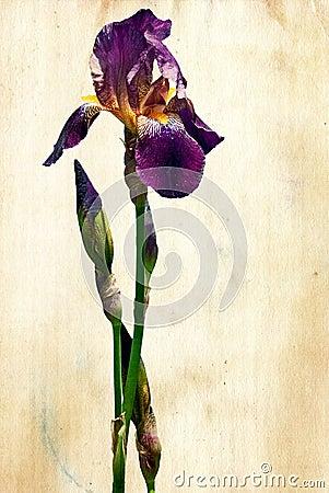 Iris on grunge paper.