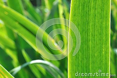 Iris leaf background
